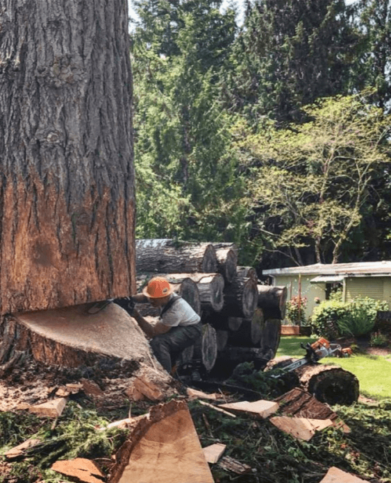 Large Tree Cutting